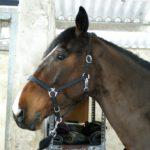 portrait-visage-cheval-marron-cheval-a-vendre-ecuries-nicolas-mergnac-nercillac.