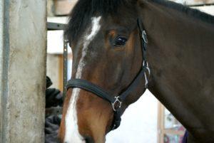 portrait-visage-cheval-marron-fonce-avec-une-tache-blanche-entre-les-yeux-avec-filet-ecuries-nicolas-mergnac-nercillac-charente