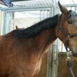 portrait-visage-cheval-marron-qui-regarde-photographe-ecuries-nicolas-mergnac.j