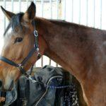 portrait-visgae-cheval-marron-qui-regarde-photographe-sur-le-cote-commerce-ecuries-nicolas-mergnac-nercillac