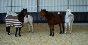quatres-chevaux-en-liberte-dans-le-manege-ecuries-nicolas-mergnac-charente.