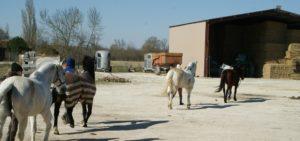 quatres-chevaux-qui-sortent-des-ecuries-a-la-longe-soleil-ecuries-nicolas-mergnac-charente
