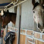 quatres-tetes-chevaux-qui-depassent-de-leur-box-ecuries-nicolas-mergnac-nercillac-charente.