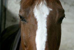tete-cheval-marron-avec-marque-blanche-au-milieu-on-voi-son-oeil-nercillac