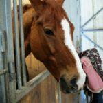 tete-cheval-marron-avec-tache-entre-les-yeux-blanche-avec-en-fond-couverture-et-accessoires-ecuries-nicolas-mergnac-charente-