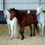 trois-chevaux-en-liberte-dans-le-manege-qui-courent-ecuries-nicolas-mergnac-nercillac.