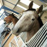 rois-etes-de-chevaux-dont-un-blanc-qui-nous-regarde-ecuries-nicolas-mergnac-charente-nercillac.