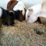 trois-tetes-de-poneys-qui-mangent-foin-dans-stabule-couleur-noir-marron-et-blanc-ecuries-nercillac-charente