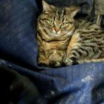 chat-marron-et-noir-avec-yeux-verts-couche-sur-une-bache-dans-les-ecuries-nicolas-mergnac-nercillac