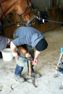 cheval-marron-qui-se-fait-limer-le-sabot-par-le-marechal-ferrand-ecuries-nicolas-mergnac