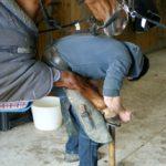 cheval-marron-qui-se-fait-poser-un-nouveau-fer-a-cheval-par-le-marechal-ferrand-ecuries-nicolas-mergnac-charente