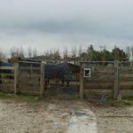 deux-chevaux-dans-le-marcheur-travail-ecuries-nicolas-mergnac-nercillac.