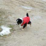 petit-chien-noir-et-blanc-avec-un-manteau-rouge-qui-marche-neige-par-terre