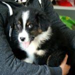 petit-chien-noir-et-blanc-dans-les-bras-de-sa-maitresse-en-train-de-tirer-la-langue.