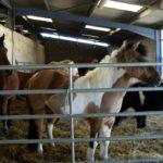 poney-club-poneys-dans-stabule-debout-ecuries-nicolas-mergnac-nercillac