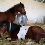 stabule-chevaux-couches-ecuries-nicolas-mergnac-nercillac-charente